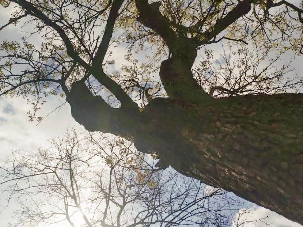 傅舰军︱老树的春天