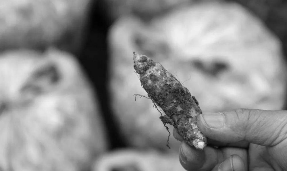 唐朝晖丨吃蜜环菌,就可以长大